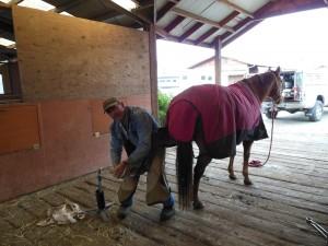 In Motion Sport Horses having ferrier work done