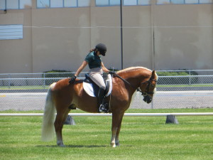 Haflinger in training with In Motion Sport Horses