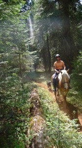 Haflinger trail riding with Carrie Allen aboard.