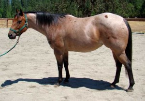 5 year old AQHA Mare for sale with In Motion Sport Horses