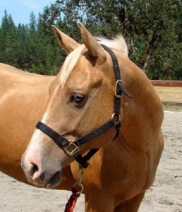 AQHA gelding for sale with In Motion Sport Horses